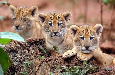 Cute Liger Cubs